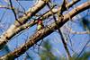 <center>Red Bellied Woodpecker<br><br>Fort Wildlife Refuge<br>North Smithfield, Rhode Island</center>