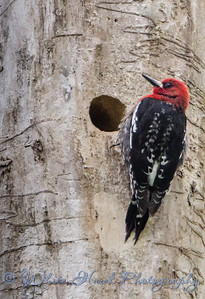 2016-04-21 - Red-Breasted Sapsucker
