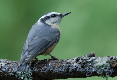 2016-09-15 - Red-Breasted Nuthatch