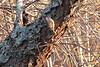 <center>Brown Creeper <br><br>Trustom Pond<br>South Kingstown, Rhode Island</center>