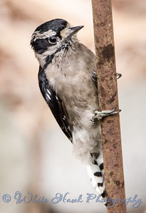 2016-08-31 - Downy Woodpecker