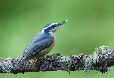 2016-09-13 - Red-Breasted Nuthatch