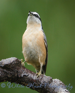 2016-10-29 - Red-Breasted Nuthatch
