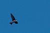 4-25-14  -  Tree Swallow 2