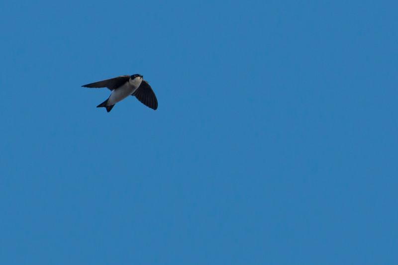 4-25-14  -  Tree Swallow 1