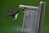 A parent's work is never done!!!<br /> Baby tree swallow, waiting to be fed<br /> The Meadowlands<br /> New Jersey