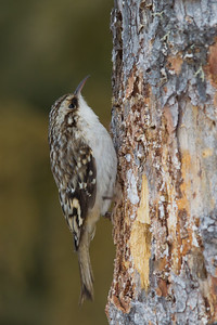 Classic Brown Creeper pose - Sax-Zim Bog, Nr. Duluth, MN, USA