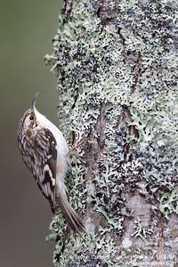 Brown Creeper - Upper Peninsula, MI, USA