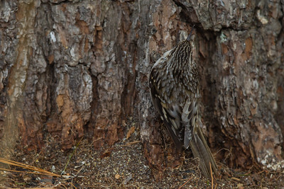 Brown Creeper - Sax-Zim Bog, Nr. Duluth, MN, USA