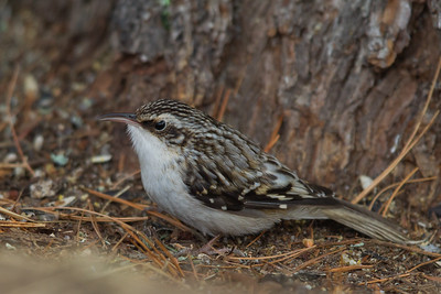 Brown Creeper on the ground - Sax-Zim Bog, Nr. Duluth, MN, USA