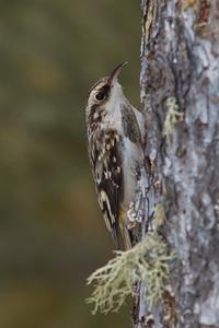 Brown Creeper - Sax-Zim Bog, Nr. Duluth, MN, USA