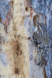 Brown Creeper - Sax-Zim Bog, MN, USA