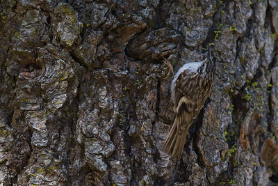 Brown Creeper -  Sequoia National Park, CA, USA