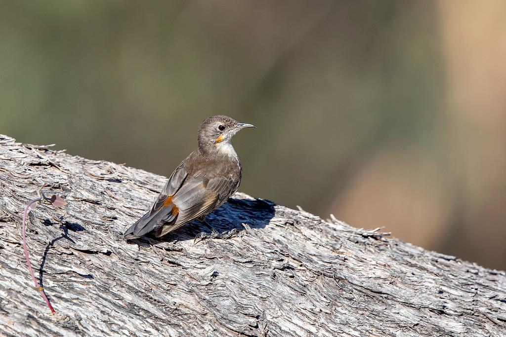 White-throated Treecreeper - Juvenile Female