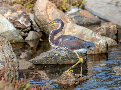 Tri-colored Heron Posing