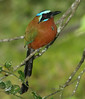 Blue-crownedMotmot