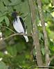BeardedBellbird01