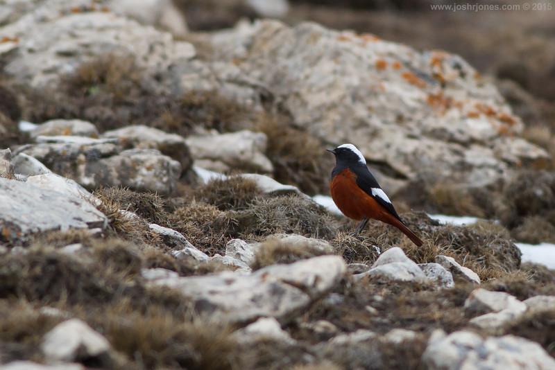 Güldenstädt's Redstart, ♂