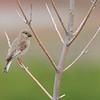 Desert Finch, ♀