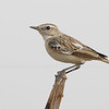 White-browed Bush Chat