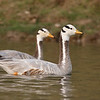 Bar-headed Geese