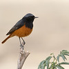 Eastern Black Redstart ♂