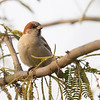 Sind Sparrow ♂