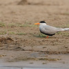 Black-bellied Tern