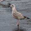 Vega Gull, 2cy
