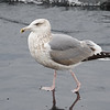 Vega Gull, 4cy