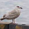 Slaty-backed Gull, 2cy