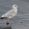 Vega Gull, 3cy