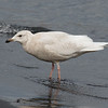 Presumed Glaucous x Glaucous-winged Gull, 2cy