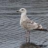Slaty-backed Gull, 3cy