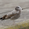 Black-tailed Gull, 2cy