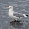 Vega Gull, adult