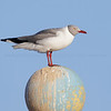 Grey-headed Gull, adult