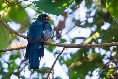 Black-tailed Trogon -Record - Amazonia Lodge, Manu Biosphere Preserve, Peru