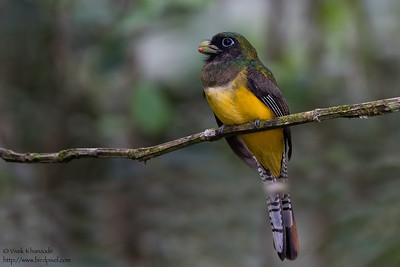 Black-throated Trogon - Record - Gamboa, Colon, Panama