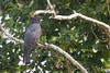 Gartered Trogon - Crooked Tree, Belize