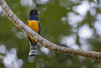 Gartered Trogon - Hidden Valley, Belize