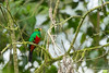 Golden-headed Quetzal - Record - Mindo, Ecuador