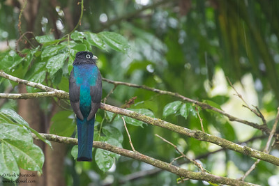 Green-backed Trogon - Amazon, Ecuador