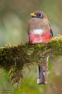 Masked Trogon - Female - San Isidro Lodge, Ecuador