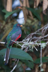 Masked Trogon - Male - San Isidro Lodge, Ecuador