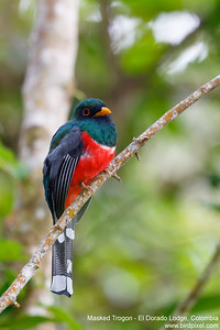 Masked Trogon - El Dorado Lodge, Colombia