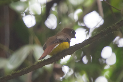 Orange-bellied Trogon - Female - Record - Selva Verde, Costa Rica