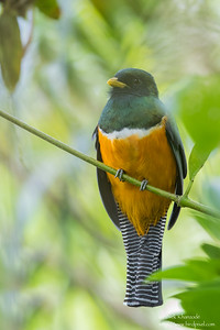 Orange-bellied Trogon - El Valle, Panama