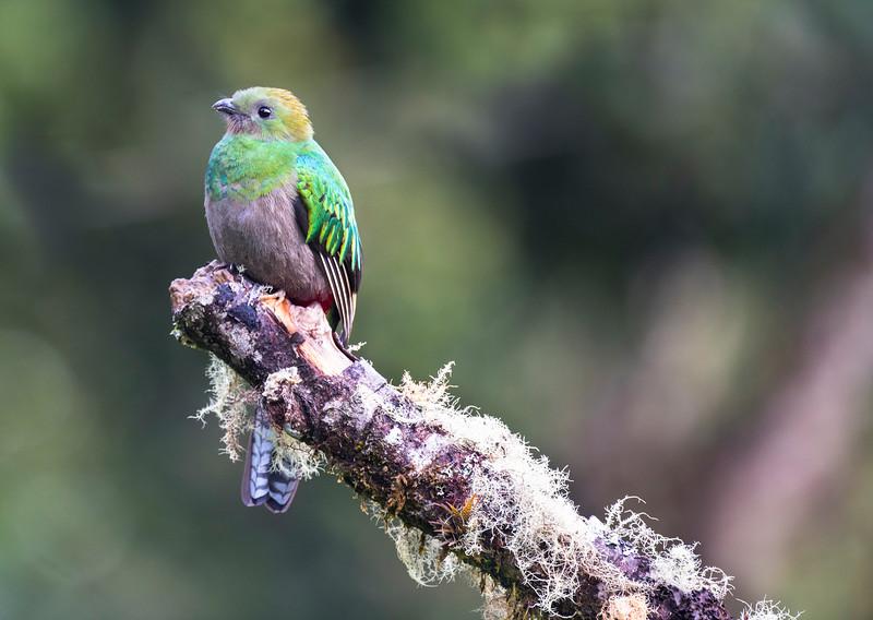 Resplendent Quetzal- female