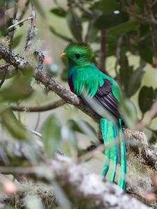 Resplendent Quetzal - Male - Savegre, Costa Rica